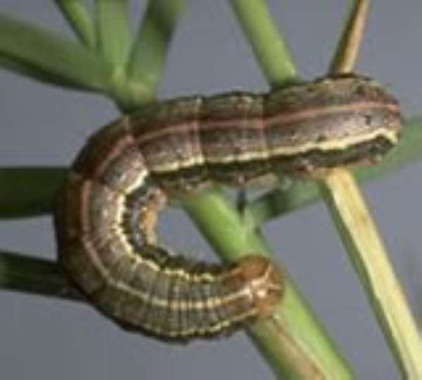 NADMO joins in fight against armyworms